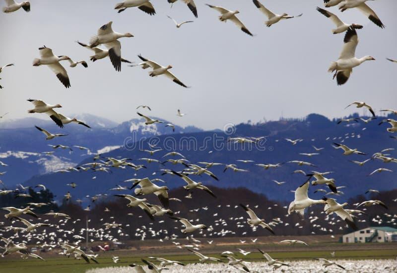 mot snow för berg för flyggässhundreds royaltyfria foton