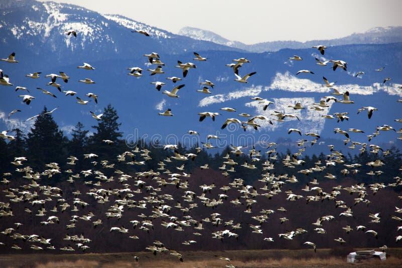 mot tusentals för snow för flyggässberg arkivfoto