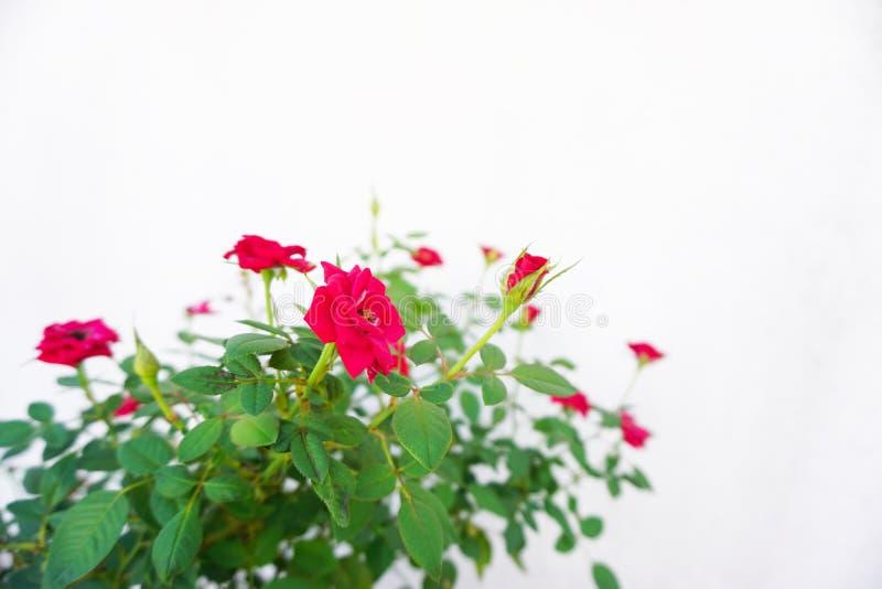 mot vita röda ro för bakgrund royaltyfri bild