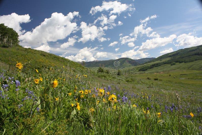 Mota con cresta, festival del Wildflower del CO foto de archivo