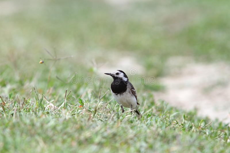 Motacilla alba on ground. Motacilla alba ( white wagtail ) standing on the ground, short depth of field stock photography