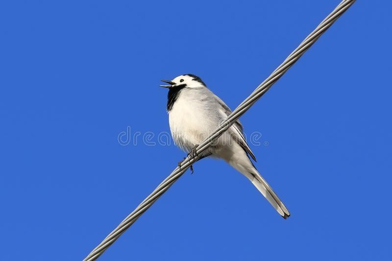 Motacilla alba. White Wagtail in spring in Siberia against the blue sky royalty free stock photo
