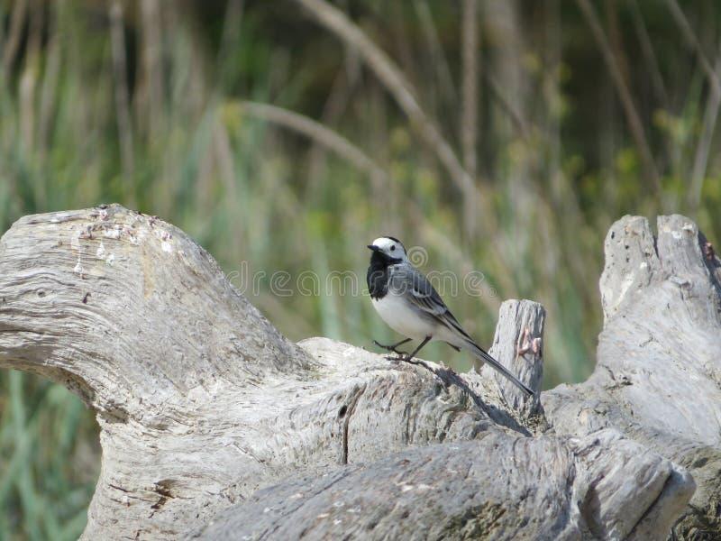 Motacilla alba of witte kwikstaart Zwart-witte vogel royalty-vrije stock afbeeldingen