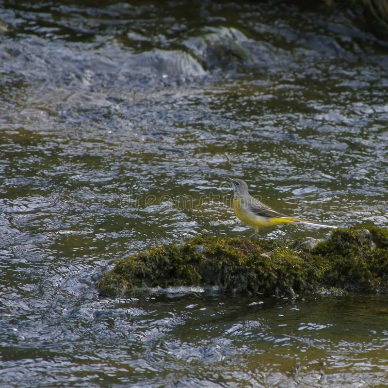 Grey wagtail beside stream. royalty free stock photos