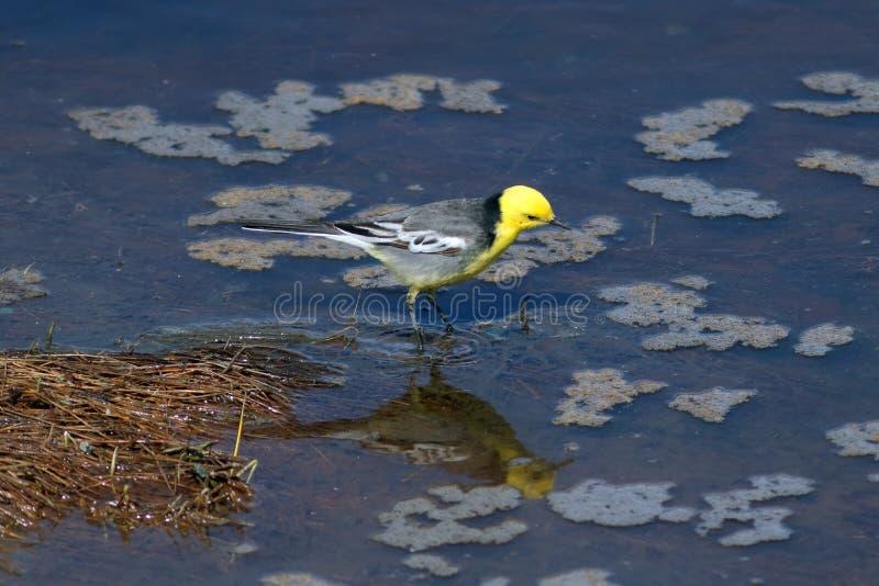 Motacilla citreola 公柠檬色令科之鸟在水中的寻找食物在亚马尔半岛 免版税库存图片