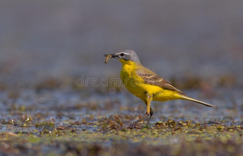 Motacilla di Yelow - flava del Motacilla - maschio fotografie stock libere da diritti