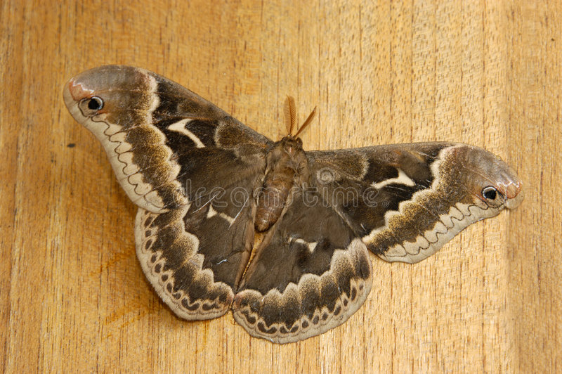 Moth royalty free stock images