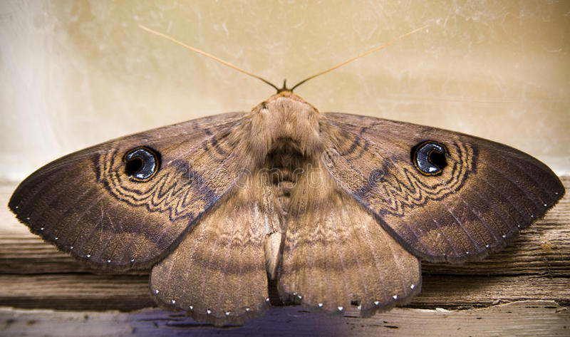 Moth. Australian moth shows off its defense mechanism - 'eyes' on the back of its wings royalty free stock images