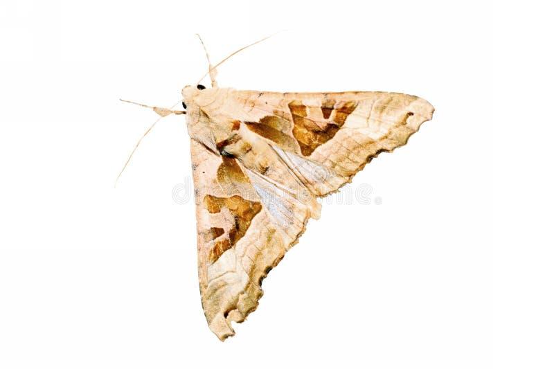 Download Moth Stock Photo - Image: 6435860