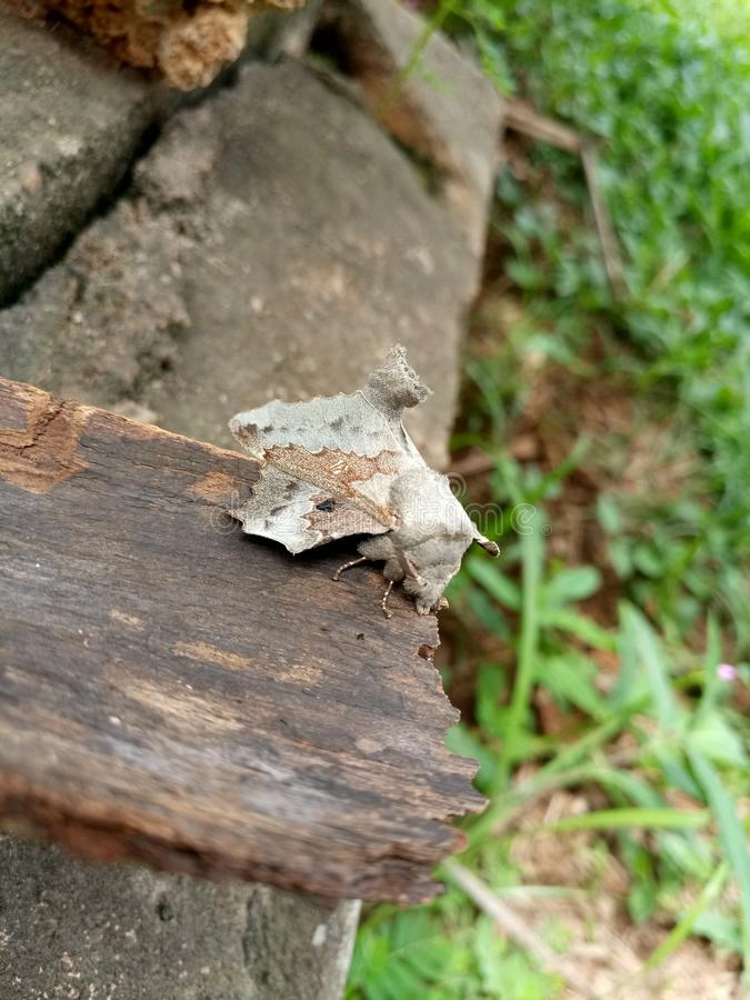 Camouflage moth royalty free stock images