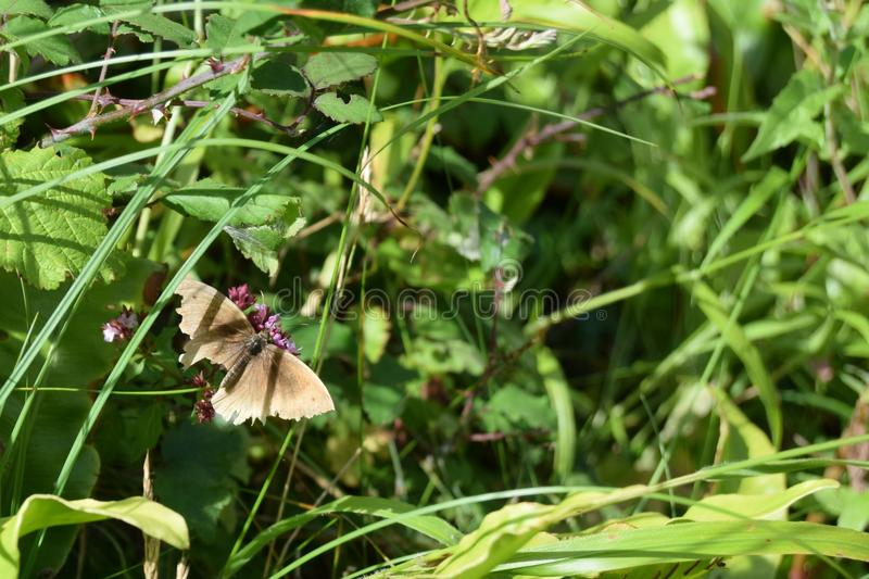 Moth with broken wing, Mendip hills. A moth with a broken wing stopping on a flower, Mendip hills royalty free stock photos