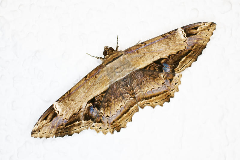 Moth royalty free stock photography