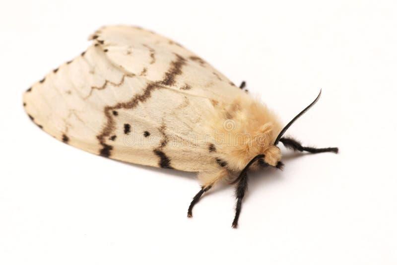 Moth, Brudnice Lymantria dispar, female stock photos