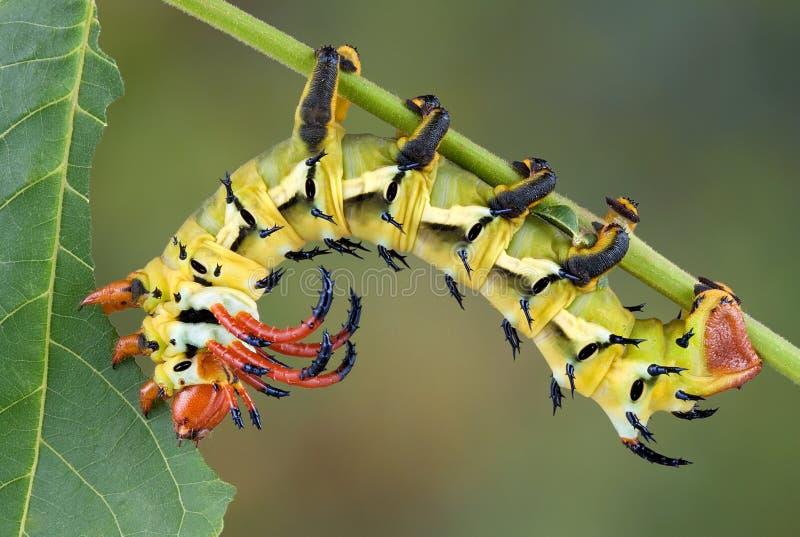 Moth caterpillar eating walnut leaf stock photos