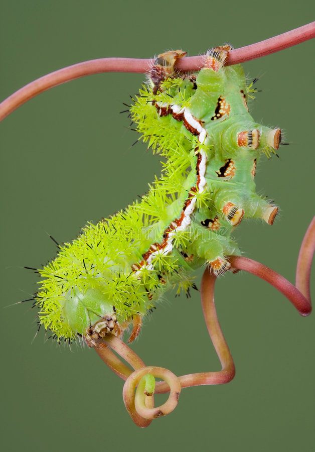 Moth Caterpillar on Vine royalty free stock photos