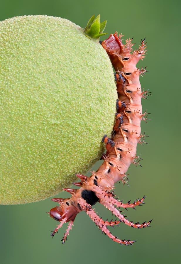 Moth Caterpillar on walnut stock photo