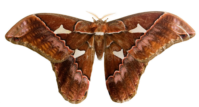 Download Moth With Clipping Path Royalty Free Stock Images - Image: 13137979