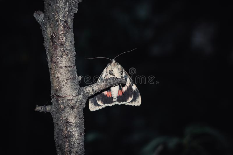 Moth with colorful orange wings close-up outdoor. portrait of a crawling insect close-up on a tree branch at night.  royalty free stock photography