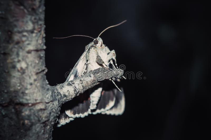 Moth with colorful orange wings close-up outdoor. portrait of a crawling insect close-up on a tree branch at night stock photo