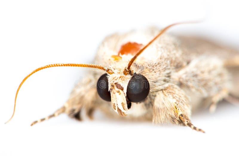 Moth. Common quaker moth a white background stock image