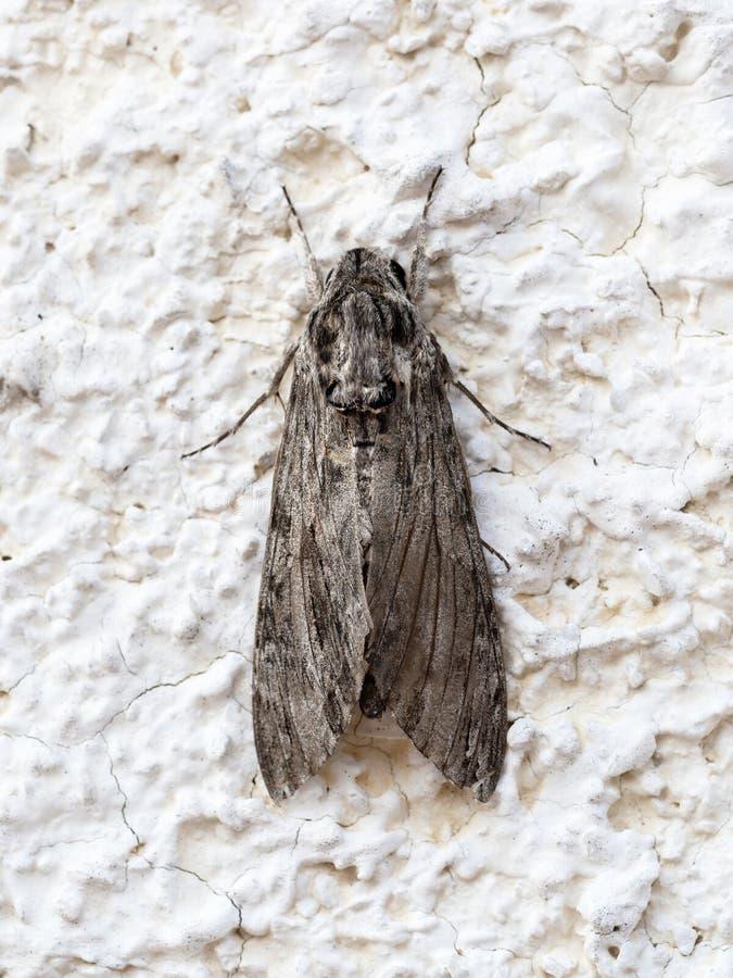 Moth, dorsal view. Agrius convolvuli, the convolvulus hawk-moth. Moth, dorsal view. Agrius convolvuli aka the convolvulus hawk-moth stock photography