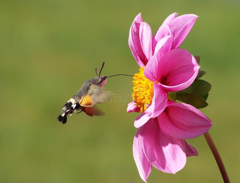 Moth Hovering By A Pink Zinnia Free Public Domain Cc0 Image