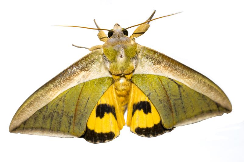 moth isolated on white background close up upper view yellow green stock photo