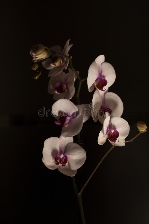 Moth orchids by night stock photo