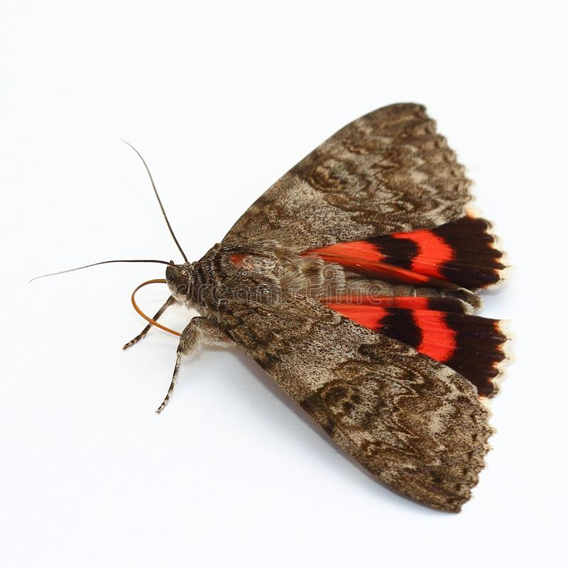 Download Moth - Red Underwing (Catocala Nupta) Over White Stock Image - Image of adult, night: 25493809