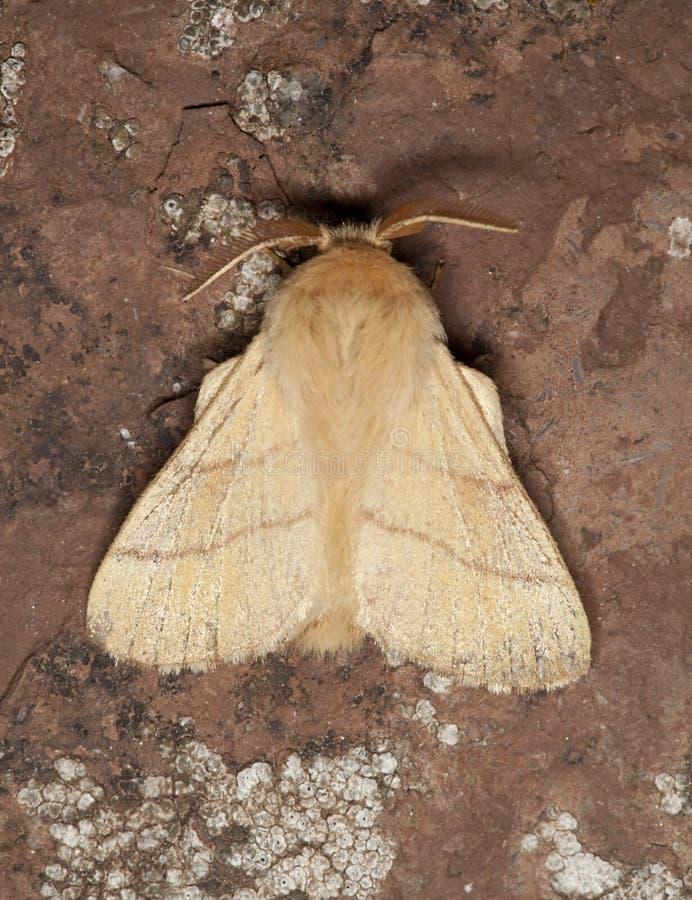Moth sitting on rock stock photography