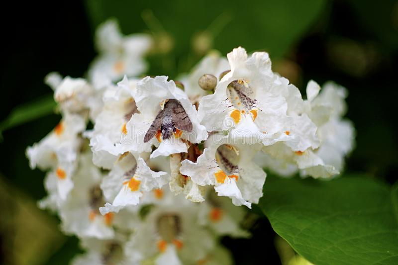 Moth sleeping in a flowering tree royalty free stock photography