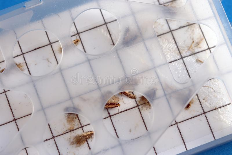 Close up. Moth trap with captured male common clothes moths. Pest control. stock photography