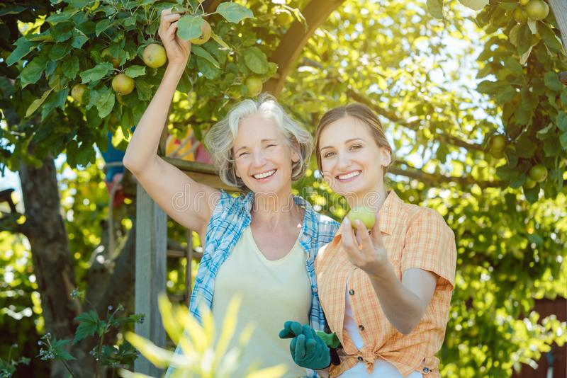 Mother and adult daughter checking apples in tree. Mother and adult daughter checking apples in apple tree stock image