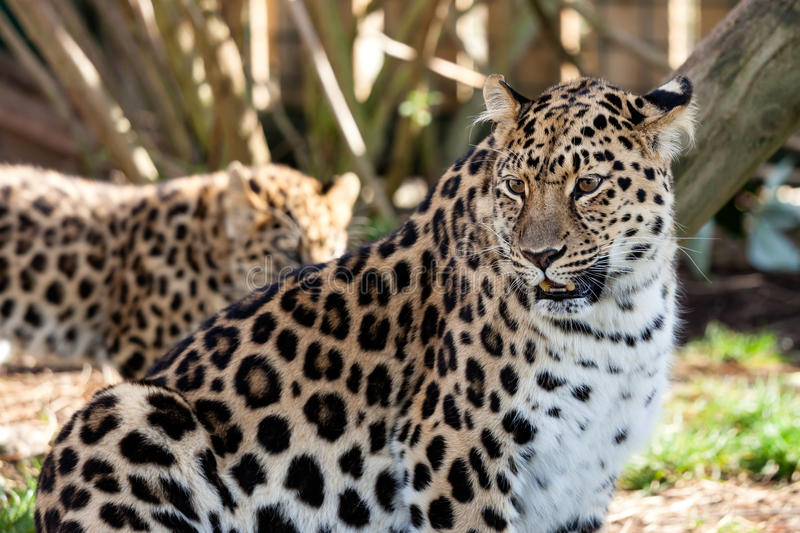 Mother Amur Leopard Protecting Cub Royalty Free Stock Image