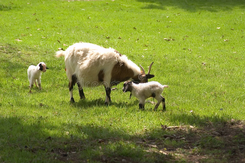 Download Mother and Babies stock image. Image of mammals, goat, babies - 117337