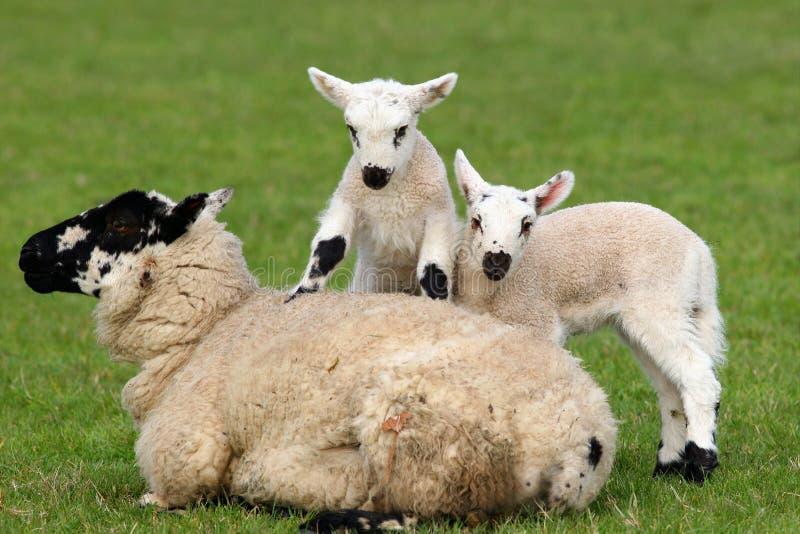Download Mother and Babies stock image. Image of farming, lamb, acrobatics - 457947