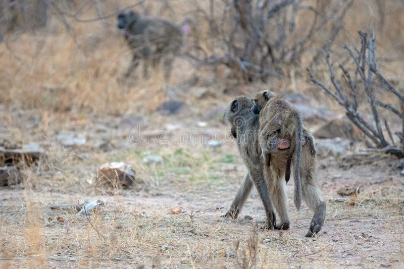 Mother Baboon carrying baby on back in Kruger National Park in South Africa stock photography