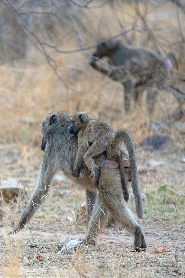 Mother Baboon carrying small baby on back in Kruger National Park in South Africa stock photos