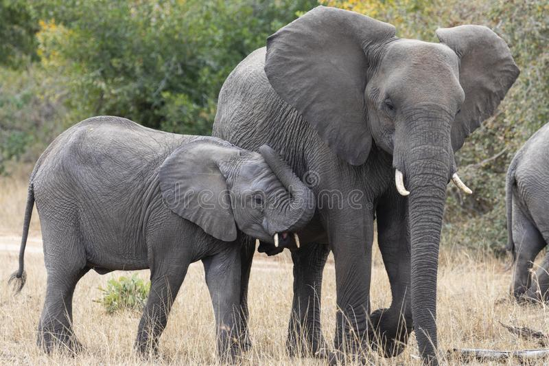 Mother and baby African elephants, Loxodanta Africana, up close with natural African landscape in background royalty free stock images