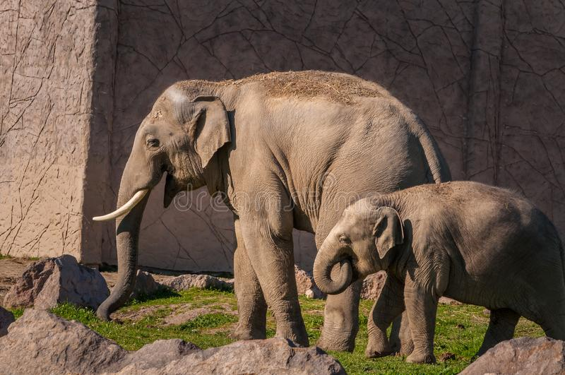 Mother and baby African Elephants wailking on the grass stock photo