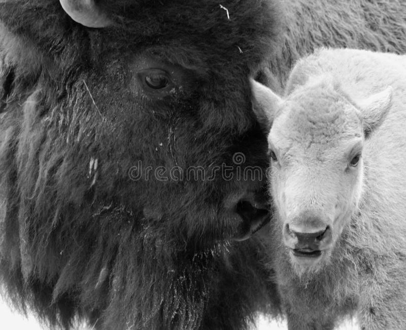 Mother & baby American bison o. R simply bison, also known as the American buffalo or simply buffalo, is a North American species of bison that once roamed the royalty free stock images
