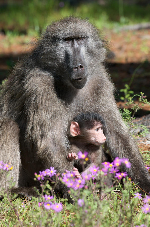Download Mother and Baby baboon stock photo. Image of bond, town - 10897010