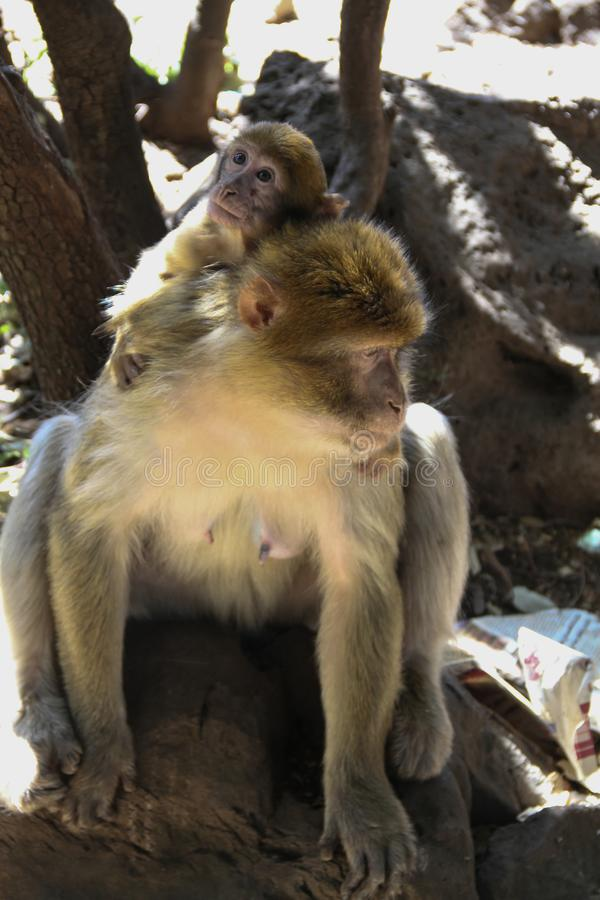 Barbary Macaques in the shade stock images