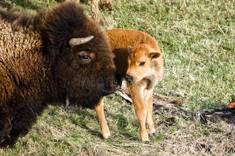Mother and baby Bison. Share a moment in Yellowstone National Park, USA royalty free stock photo