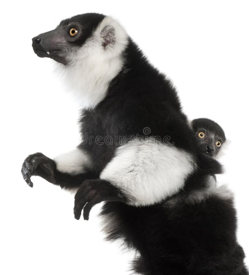 Mother and baby Black-and-white ruffed lemur, Varecia variegata subcincta, 7 years old and 2 months old royalty free stock image