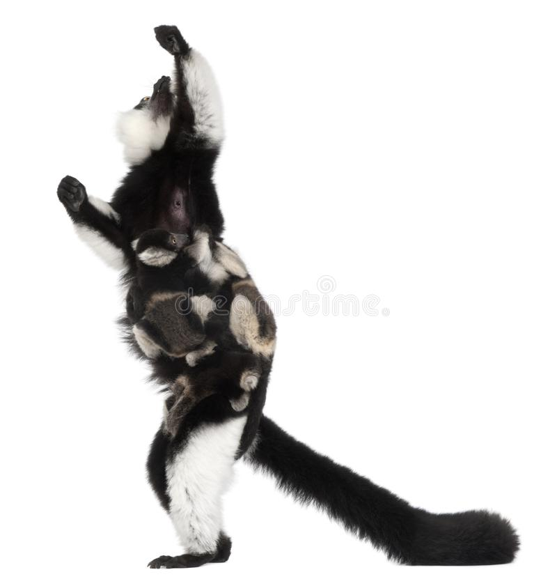 Mother and baby Black-and-white ruffed lemurs, Varecia variegata subcincta, 7 years old and 2 months old royalty free stock photo