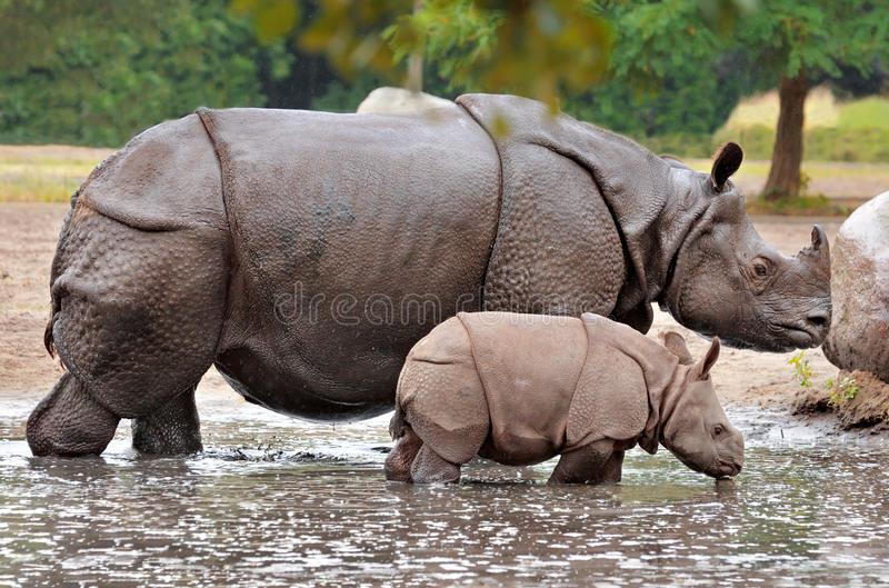 Mother and baby calf rhino stock photo