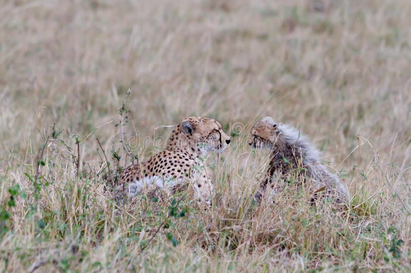 Download Mother And Baby Cheetah Face Each Other Stock Image - Image: 16325225