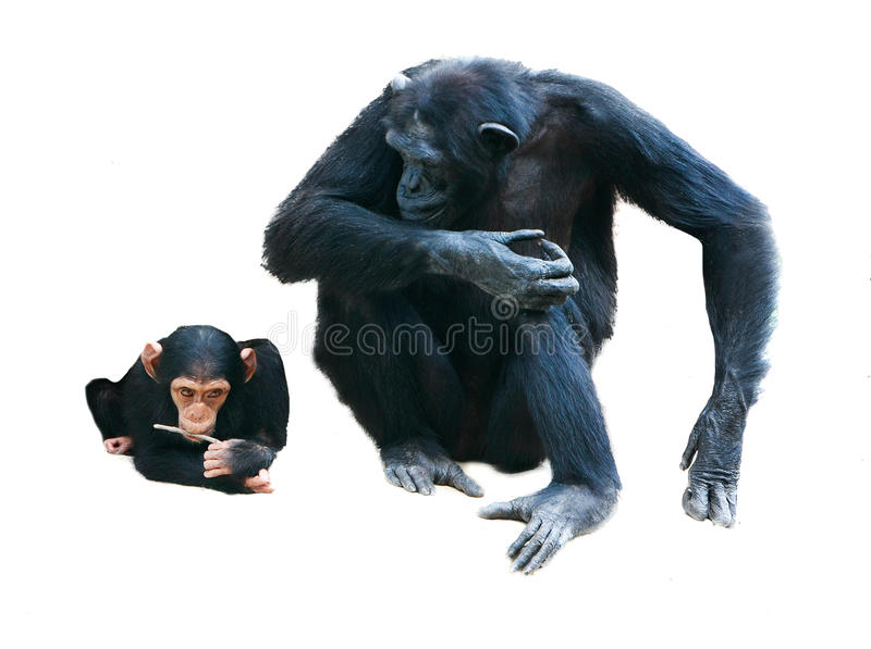 Mother and baby chimps. Over white royalty free stock photos
