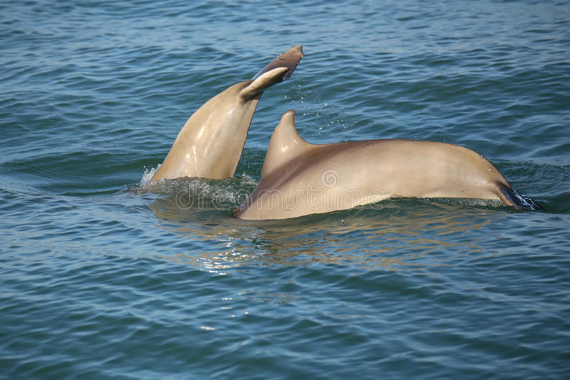 Mother and baby Common bottlenose dolphins diving. Near Sanibel island in Florida stock image